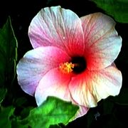 jGibney Hibiscus Photo Art Giclee    Ec3050_card