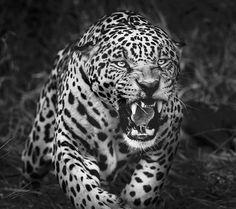 Lion Pictures, Animal Pictures, Majestic Animals, Animals Beautiful, Araquem Alcantara, Bbc Earth, Jaguar Tattoo, Big Cat Tattoo, Jaguar Animal