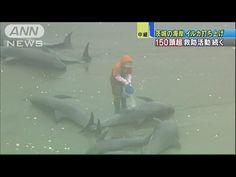 今早6點接獲住民通報後,鹿島海上保安署立即前往確認,約有150頭海豚擱淺在台濁沢海岸,隨後協同當地大洗水族館,將他們送回大海裡,茨城縣2011年3月初也曾發生過50隻瓜頭鯨擱淺,不禁讓人聯想是否為地震前兆。