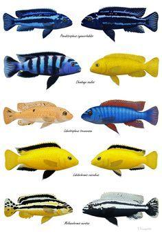 Tropical Freshwater Fish, Freshwater Aquarium Fish, Tropical Fish, Cichlid Aquarium, Cichlid Fish, Malawi Cichlids, African Cichlids, Fish Chart, Fish Pond Gardens