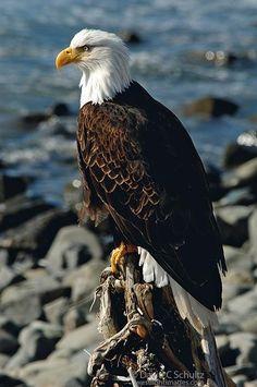 Profile of bald eagle sitting on an old stump along the shore near Sitka, Alaska...