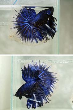 Black blue metallic