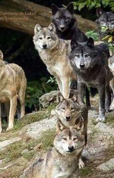 Wolf Images, Wolf Photos, Wolf Pictures, Animal Pictures, Beautiful Creatures, Animals Beautiful, Cute Animals, Wild Animals, Baby Animals