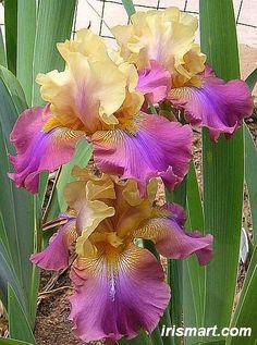 Tall Bearded Iris 'Trillion' (Iris germanica)