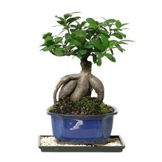 Brussel's Bonsai Gensing Grafted Ficus (Indoor)-CT-7012GMF - The Home Depot