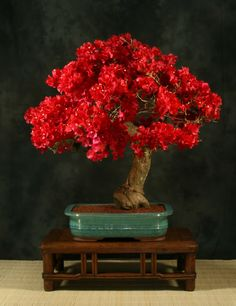New 100 Pcs / Bag Very Rare Red Bougainvillea Spectabilis Seeds Perennial Bonsai Plant Beautiful Bougainvillea Flower Seeds. Bougainvillea Bonsai, Flowering Bonsai Tree, Bonsai Plants, Bonsai Garden, Bonsai Trees, Air Plants, Cactus Plants, Ikebana, Mame Bonsai