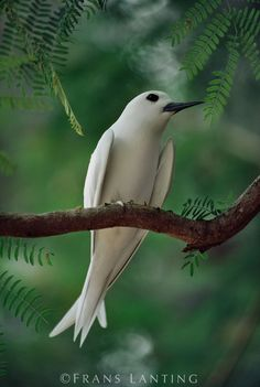 Fairy Tern in Acacia tree in the northwest Hawaiian Islands, photo by Frans Lanting Kinds Of Birds, All Birds, Little Birds, Love Birds, Pretty Birds, Beautiful Birds, Animals Beautiful, Exotic Birds, Colorful Birds