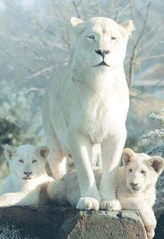 White Lion and cubs - a rare group from shades of white