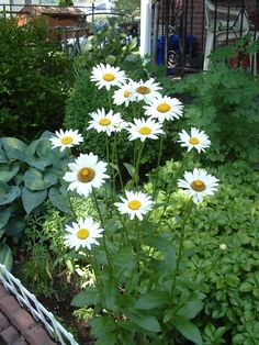 @Botanical Interests Love Shasta Daisies!  They make for a happy day! pic.twitter.com/inXT9wfs4D