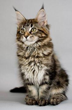 Maine Coon Kitten..