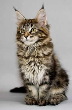Maine Coon Kitten..