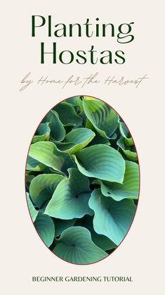 Hosta Plants, Shade Perennials, Shade Plants, Backyard Ideas For Small Yards, Organic Mulch, Garden Inspiration, Garden Ideas, Small Garden Design, Landscaping Tips