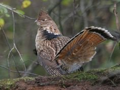 The ruffed grouse was designated the official state bird of Pennsylvania in 1931. Sometimes called the Partridge, the Ruffed Grouse is one of 10 species of grouse native to North America, ranging mostly in regions where snow is an important part of the winter scene (consistently covering the ground from late November to at least late March). The Ruffed Grouse is a hearty bird which thrives during severe winters that decimate flocks of quail, pheasants, and turkeys.