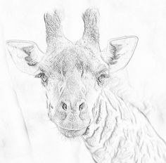 Masi Giraffe in black and white. Zoo Animal Coloring Pages, White Pencil, Zoo Animals, Colored Pencils, Animal Pictures, Giraffe, Moose Art, Black And White, Colouring Pencils