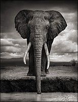 Another beautiful Nick Brandt black and white photo. Go to his website, he captures so many gorgeous animals in breathtaking photos.