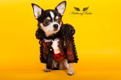 Pet Couturier Anthony Rubio created a replica of the Matador. Chihuahua Bogie wears the custom made creation. Photo taken by Yoni Levy for Anthony Rubio Designs.  For more Pet Fashion visit www.AnthonyRubioDesigns.com,