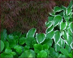 Acer palmatum cultivar with variegated hosta and Bergenia cordifolia; Photo: Sue Gaviller at Not Another Gardening Blog