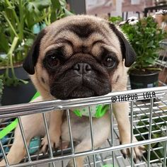 Me 5 minutes into shopping every single time. Photo by @thepug_lola Want to be featured on our Instagram? Tag your photos with #thepugdiary for your chance to be featured.