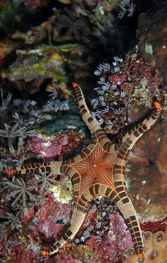 Icon Starfish, Bali by Mark Atwell -- this doesn't look real! Underwater Creatures, Underwater Life, Beautiful Sea Creatures, Animals Beautiful, Poisson Mandarin, Fauna Marina, Life Under The Sea, Beneath The Sea, Tier Fotos