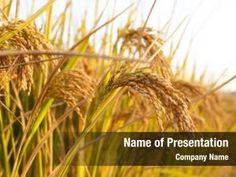 Rice Plant PowerPoint Templates - Rice Plant PowerPoint Backgrounds, Templates for PowerPoint, Presentation Templates, PowerPoint Themes Free Powerpoint Presentations, Powerpoint Themes, Powerpoint Presentation Templates, Rice Plant, Ppt Themes, Presentation Backgrounds, Social Icons, Grass, Herbs