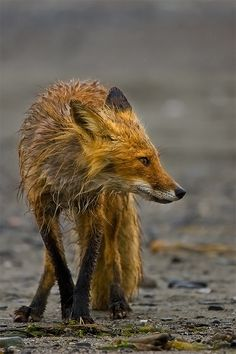 American Red Fox (Vulpes vulpes). Members of the dog family, these agile, alert and hardy creatures weigh up to about 15 pounds, with the males (dogs) being larger than the females (vixens). Hallo Bay, Alaska // photography & text by Stephen W. Oachs