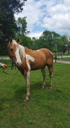 Palomino paint gelding | Male Palomino in Kansas City MO | 4368016403 | Horses on Oodle Marketplace