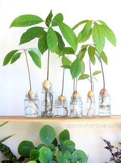 2 easy ways to grow avocado tree from seed in soil or water, better than toothpicks method! Best tips on germination, indoor & outdoor planting, & more! – A Piece of Rainbow #indoorplants #houseplants #gardening #indoorgarden #farmhouse #boho #bohemian #homedecor #livingroom #bedroom indoor plants, houseplants, gardening, indoor garden, modern, farmhouse, boho, bohemian, home décor, living room, bedroom, propagation station #propagation Indoor Avocado Tree, Indoor Tree Plants, Best Indoor Trees, Trees To Plant, Indoor Garden, Indoor Outdoor, Indoor Plants In Water, Avocado Plant From Seed, Avocado Seed