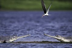 Gharial and Indian Skimmer by Baiju Patil