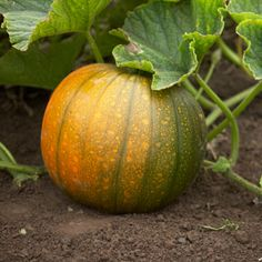 how to tell if squash is ready to pick