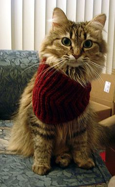 So dignified, <3 ! (That's a Calorimetry the cat's wearing.) #cats #knitting