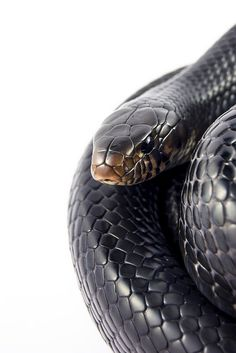 One of my favorites: The Eastern Indigo Snake!