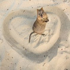 by Allan Dixon :「Happy Quokkatines Day! ❤ The one day of the year where everyone in the world gets asked to hangout with a quokka. @quokkahub #valentinesday #valentines #quokka」