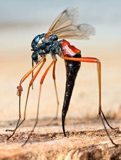 Cranefly Macro shot by John hallmen