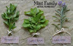 Mint Family Herbal Remedies - Herbal Academy