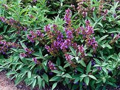 Mata de salvia officinalis