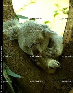 http://www.photaki.com/picture-koala-dreaming-vienna-austria_300441.htm