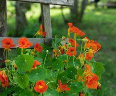 💥 NEUES AUS UNSEREM LEADING SPA BLOG! 💥 🌺➡ Die Kapuzinerkresse findet man in vielen Gärten aber warum ist sie ein Multitalent? 🤔  #leadingsparesorts #leadingspa #wellness #wellnesshotel #wellnessurlaub #auszeit #entspannen #leadingspablog #blogger #gesundheitsblog #kapuzinerkresse #garten #gesundheit #blume #flowers #medikament #hausapotheke #hausmittel #garden #kräuter #tinktur Edible Flowers, Colorful Flowers, Strawberry Varieties, Planting For Kids, Potager Bio, Plant Labels, Butterfly Bush, How To Attract Hummingbirds, Hardy Perennials