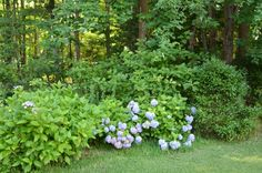 Another shot of hydrangea's.  Camellia blooms first, then hydrangea's, then beauty bush, so each time of the year there are blooms.  Plus, holly and japanese maples (not evident in picture) are in the mix, plus a dogwood.  Area is semi moist with part sun.