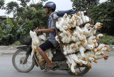 Man carries dozens of ducks on his motorcycle in Vietnam - PhotoBlog Such disregard for life