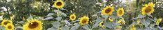 Sunflowers on a Hudson Valley farm.
