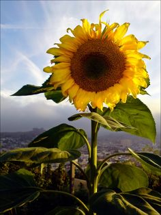 There is something about sunflowers that I just Love.