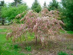 malus louisa Blue Cloud Maple & Crab Trees H:5m x L:5m