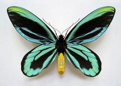 Butterflies of New Guinea - Ornithoptera tithonus - Queen Alexandra's Birdwing