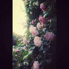 少女漫画感 Roses had been bloom like as fairy tale. #rose #bloom ##flower #garden #fairytail #marchen #eos70d #tokyo #marunouchi #バラ #薔薇 #花 #庭園 #メルヘン #丸の内ブリックスエア