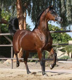 Arabhorse.com - Arabian Park Arabians - Horse