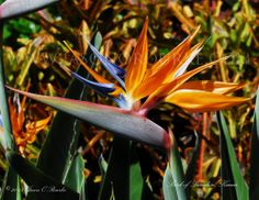 Kauai Bird of Paradise | Hawaii Pictures of the Day