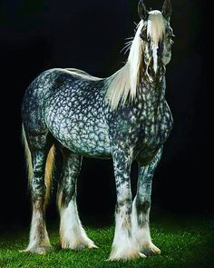 Deerinwater Silver Samurai, a striking silver dapple Gypsy Vanner horse. (Mark J Barrett) Beautiful Horse Pictures, Most Beautiful Horses, Pretty Horses, Animals Beautiful, Rare Horses, Big Horses, Horse Love, Majestic Horse, Majestic Animals
