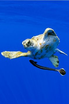 imalikshake:     imalikshake: Sea Turtle and Remora  BY Paul Souders