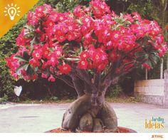 Você sabia que é possível incentivar a floração das Rosas-do-deserto através da poda drástica? Esse método consiste na retirada de todas as flores e folhas mantendo uma distância de 20cm do caudex da sua Rosa-do-deserto. :)