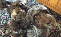 Mother and Daughter Phantom Labradoodles from DownUnder Labradoodles USA www. Labradoodles, Daughter, Usa, Dogs, People, Animals, Animales, Animaux, Pet Dogs